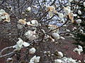 Magnolia tree 5.JPG