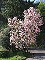Magnolienblüte in der Garfagnana 03.jpg