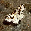 Magpie. Abraxus grossulariata - Flickr - gailhampshire.jpg