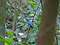 Malaysian Blue Flycatcher (Cyornis turcosus) (8077258720).jpg