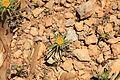 Malta - Ghajnsielem - Comino - Asteriscus aquaticus 03 ies.jpg