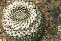 Mammillaria compressa Longispina 0zz.jpg