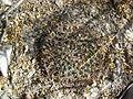 Mammillaria heyderi ssp. hemisphaerica (5664549005).jpg