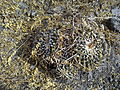 Mammillaria magnimamma (vagaspina) (5692180035).jpg