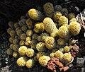 Mammillariaelongata.jpg