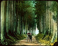 Man with rickshaw on tall tree lined dirt road. (19955330021).jpg