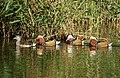 Mandarin Ducks ( Aix galericulata ) (49654011103).jpg