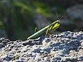 Mantis Religiosa - 01.jpg