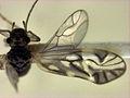 Maoripsocus semifuscatus.jpg
