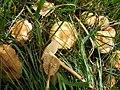 Marasmius oraedes.JPG