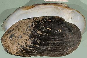 Freshwater bivalve - Image: Margaritifera auricularia shell