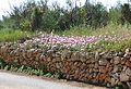 Marge amb flors al camí de les Ribes, Xàbia.JPG