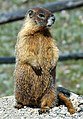 Marmota flaviventris (yellow-bellied marmot) (15107823404).jpg