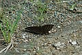 Marpesia chiron (Many-banded Daggerwing) 2015-06-14 (1) (39432731385).jpg