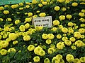 Marygold from Lalbagh flower show Aug 2013 8417.JPG