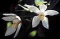 Maxillaria camaridii - fl 2.jpg