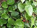 McKay Stephania japonica 32474252976 2f27eb34ce o.jpg