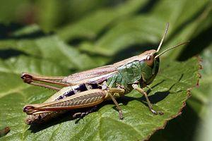Chorthippus parallelus - Female green form