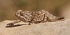 Mediterranean chameleon (Chamaeleo chamaeleon recticrista).jpg