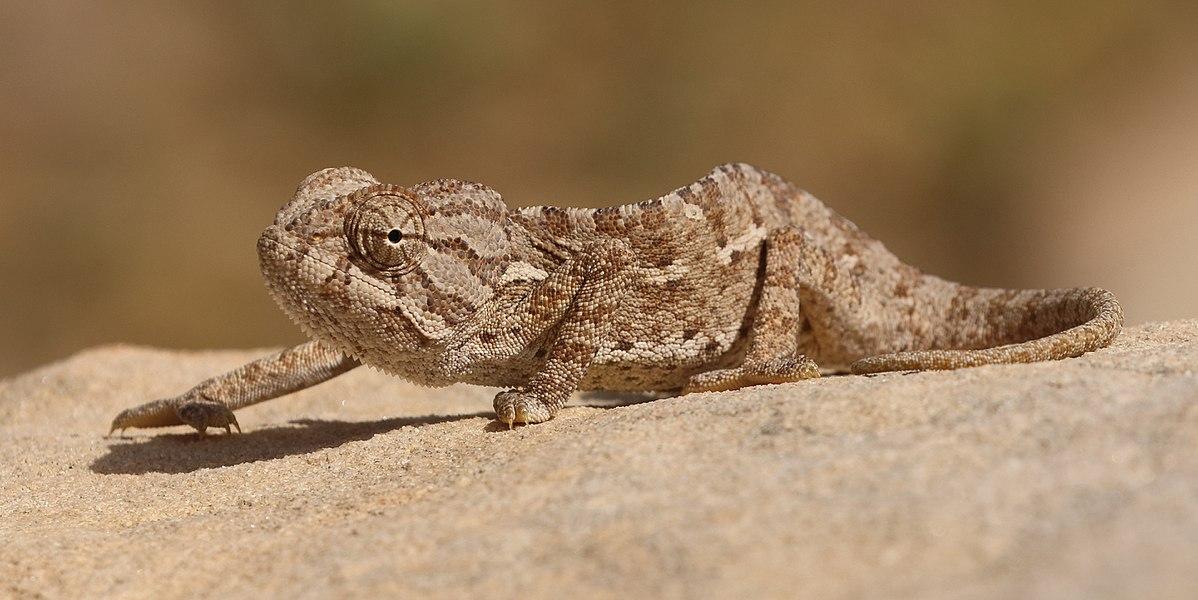 common chameleon  wikipedia