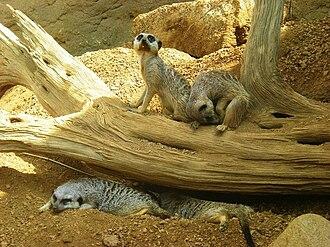 Indianapolis Zoo - Meerkats at the Indianapolis Zoo