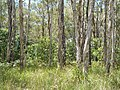 Melaleucas at the Perch Hole.jpg