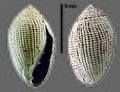 Melampus granifer (MNHN-IM-2009-3255).jpeg