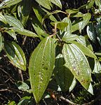 Melastome leaves.jpg