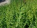 Melissa officinalis subsp. altissima 2018-07-09 4911.jpg