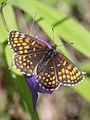 Melitaea diamina ? (Nymphalidae) (7569307392).jpg