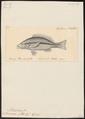 Mesoprion vitta - 1824-1839 - Print - Iconographia Zoologica - Special Collections University of Amsterdam - UBA01 IZ12900333.tif