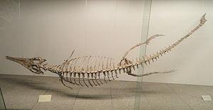 Metriorhynchus - M. superciliosus, Senckenberg Museum of Frankfurt