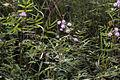 Mimosa pudica varDSC 9382.jpg