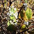 Minthostachys spicata (8636925650).jpg