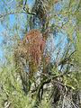 Mistletoe (6541036197).jpg