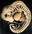 Modellgruppe menschlicher Embryos am Anfang des 2. Entwicklungsmonats (Embryo Blechschmidt; Länge des Embryo 6,3 mm).jpg