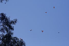 Monarch butterflies flying.jpg