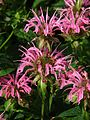 Monarda 'Croftway Pink' 05.jpg
