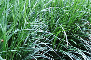 Ophiopogon japonicus - Image: Monkey Grass 3001