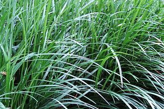 Ophiopogon japonicus - Image: Monkey Grass 3001