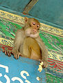 Monkey Mount Popa 0277.jpg