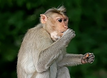 English: A Crab-eating Macaque (Macaca fascicu...
