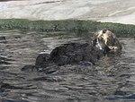 Monterey Sea Otter 2 (14962818123).jpg