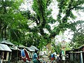 Moukoron Bazar Tree - panoramio.jpg
