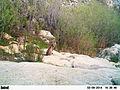 Mountain lion (Puma concolor) family group (14209025856).jpg