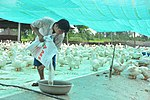 Mr. Thuong prepares feed at his model duck farm in Can Tho (14219968176).jpg