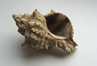 Hexaplex trunculus - Apertural view of a shell