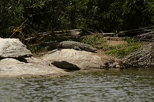 Mugger crocodile (Crocodylus palustris) from Ranganathittu Bird Sanctuary JEG4025.jpg
