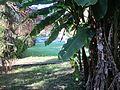 Musa x paradisiaca-Japoniar bananondo 43.jpg