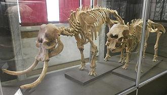 Palaeoloxodon falconeri - Image: Museo di storia naturale milano 01